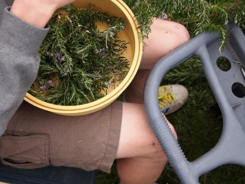 Dehydrating rosemary