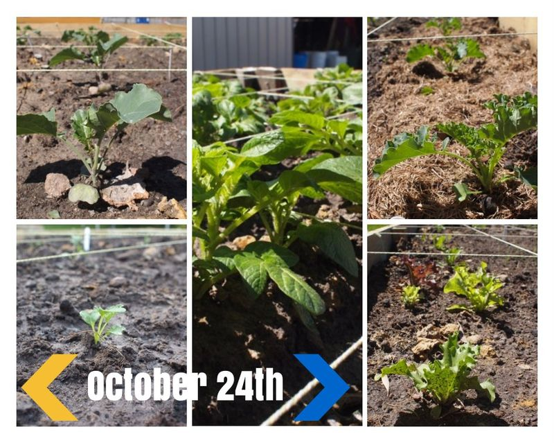 Vegetable garden october 24th