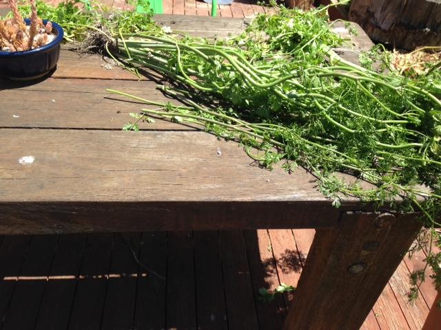Dehydrating garden coriander