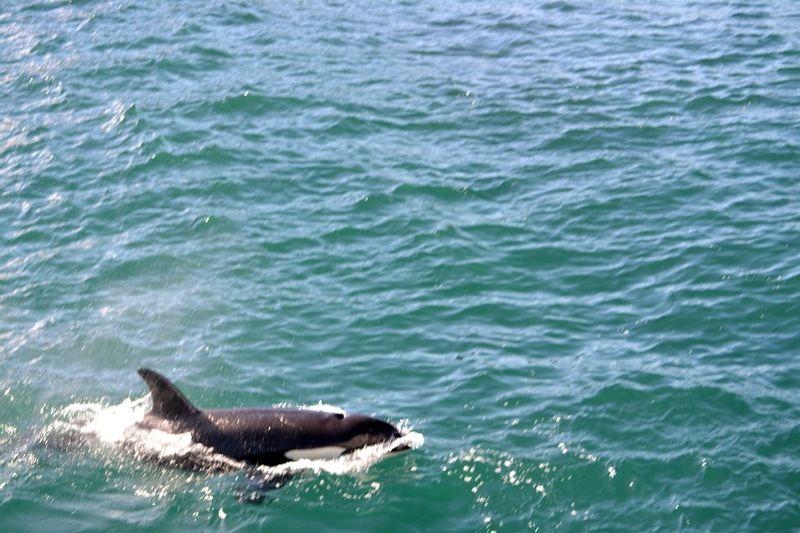 Orcha whales paihia