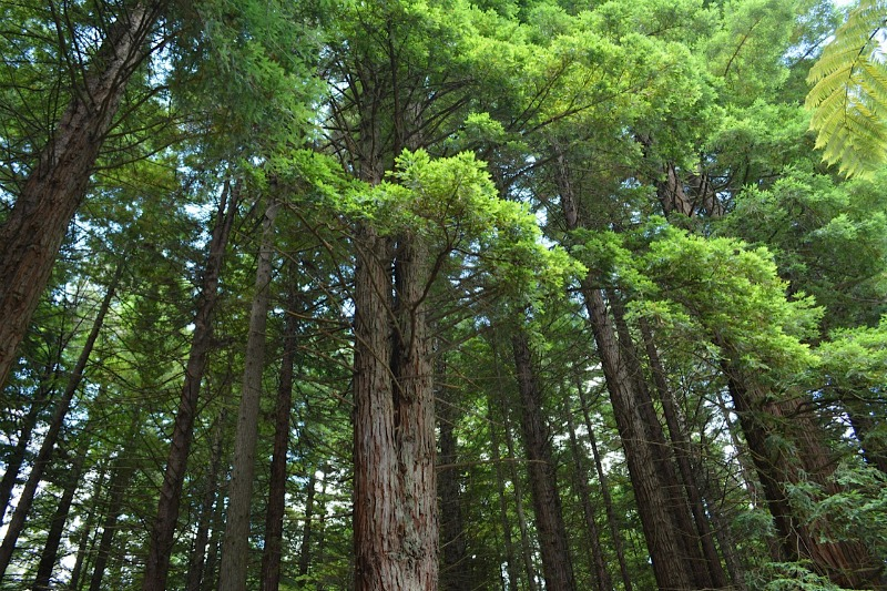 The redwoods rotorua